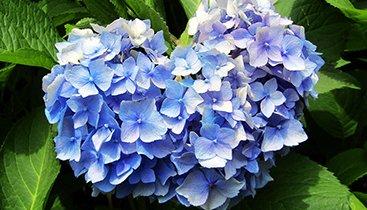 三室戸寺6月24日くらいが紫陽花の見ごろ