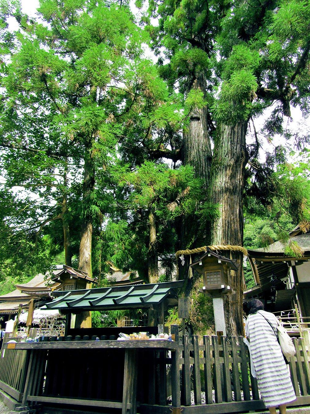 奈良県 大神神社 ご神木