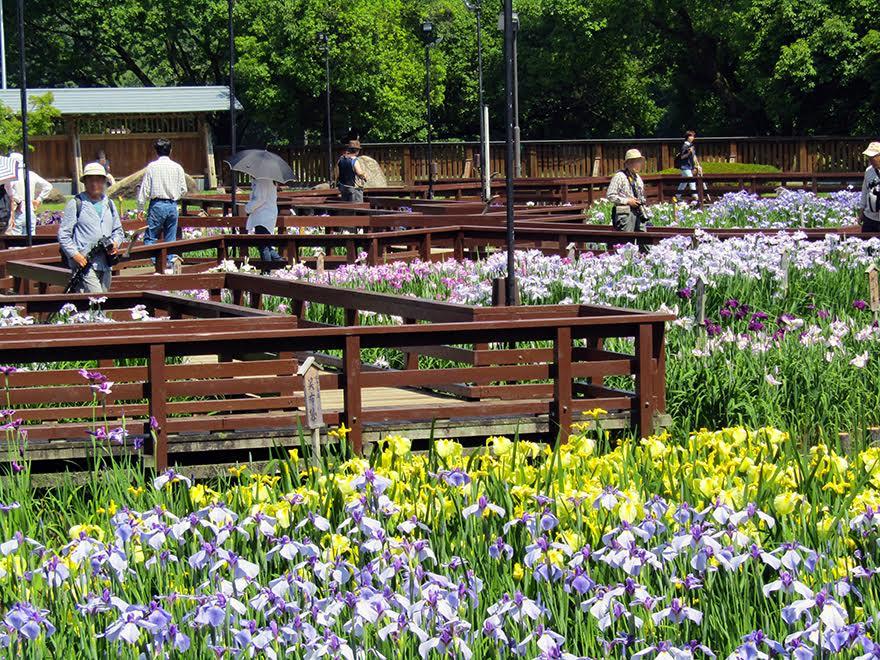 山田池公園 菖蒲